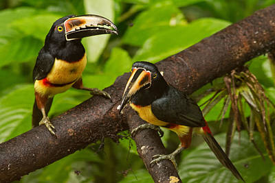 Toucan Photograph - Aracari In Costa Rica by Natural Focal Point Photography
