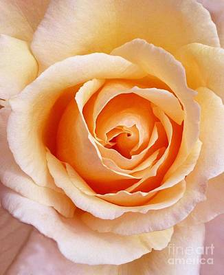 Art Print featuring the photograph Aranciata Rose Blossom by Paul Clinkunbroomer