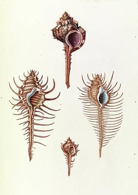 Aranea Seashells Art Print