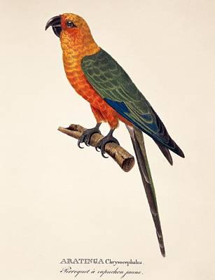 Parakeet Drawing - Aratinga Chrysocephalus  by German School