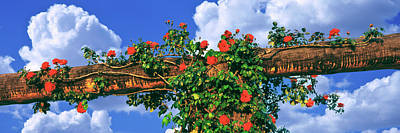 Temecula Photograph - Arbor And Spreading Rose, Temecula by Panoramic Images
