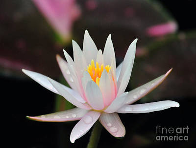 Arc-en-ciel Water Lily Print by Terri Winkler