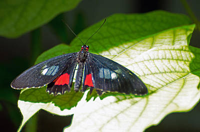 Arca Photograph - Arcas Cattleheart Butterfly by Cheryl Cencich