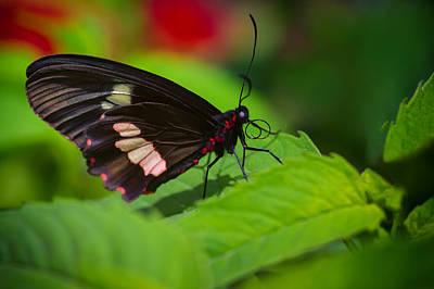 Arca Photograph - Arcas Cattleheart Butterfly by Lindley Johnson