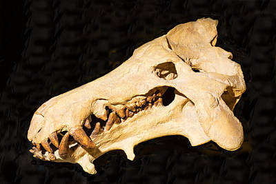 Photograph - Archaeotherium Skull Fossil by Millard H. Sharp
