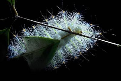 Caterpillar Wall Art - Photograph - Archduke Butterfly Caterpillar by Melvyn Yeo