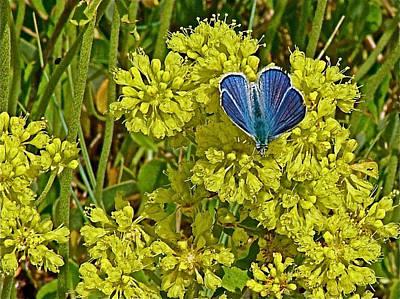 Arctic Blue Butterfly On Sulfur Flower In Fort Running Bear Near Mountain Home-idaho    Original