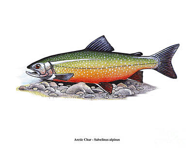 Arctic Char Male Art Print