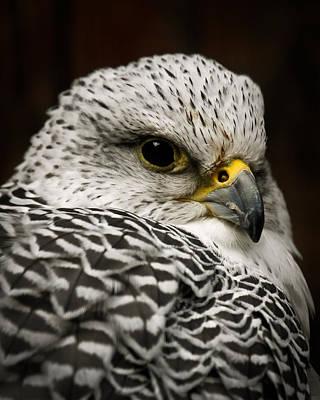 Photograph - Arctic Falcon by Steve McKinzie