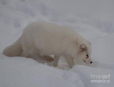 Photograph - Arctic Fox by Bianca Nadeau