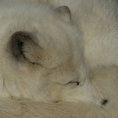Photograph - Arctic Fox by Ernie Echols