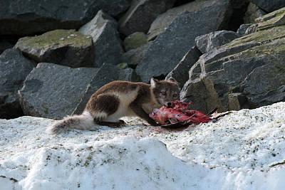 Feeding Photograph - Arctic Fox Feeding On A Seabird by Dr P. Marazzi
