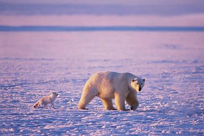 Arctic Fox Photograph - Arctic Fox Follows A Polar Bear by Steven J. Kazlowski / GHG