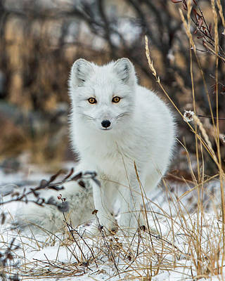 Photograph - Arctic Fox by Jack Bell