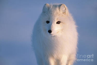 Mp Photograph - Arctic Fox North Slope Alaska by Yva Momatiuk and John Eastcott