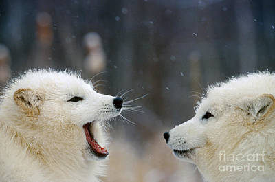 Photograph - Arctic Fox Pair Playing by Alan and Sandy Carey