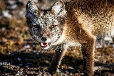 Arctic Fox Photograph - Arctic Fox by Paul Williams