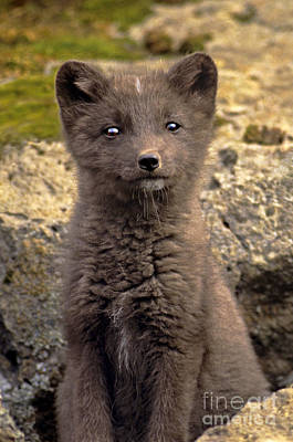 Photograph - Arctic Fox Pup Alaska Wildlife by Dave Welling