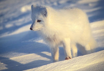 Photograph - Arctic Fox by Randy Green