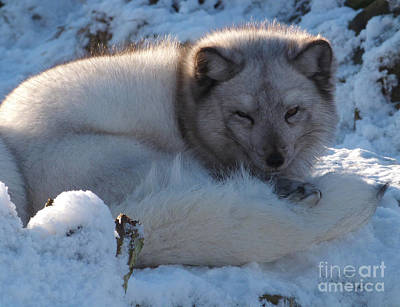 Photograph - Arctic Fox - Winter Coat by Phil Banks