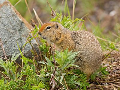 Arctic Ground Squirrel Art Print by Brian Magnier