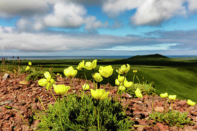 Close Focus Nature Scene Photograph - Arctic Poppy  Papaver Radicatum  Grows by Ray Bulson