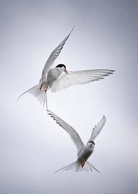 Tern Photograph - Arctic Tango by Fegari