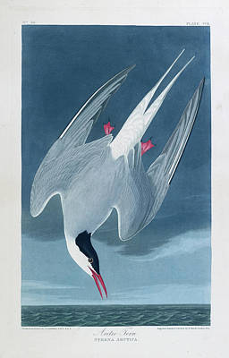 The Birds Photograph - Arctic Tern by British Library