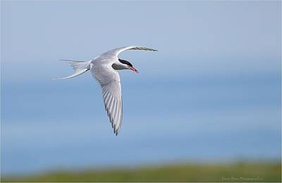 Photograph - Arctic Tern by Daniel Behm