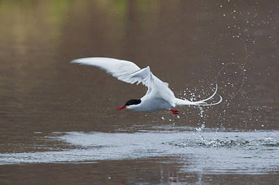 Arctic Tern Fishing Art Print by Ken Archer