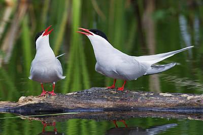 Tern Photograph - Arctic Tern Pair by Ken Archer