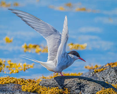 Arctic Tern Sterna Paradisaea, Flatey Art Print by Panoramic Images