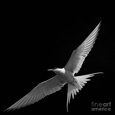 Photograph - Arctic Turn Gliding by Paul Davenport
