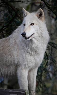 Photograph - Arctic White Wolf by Athena Mckinzie