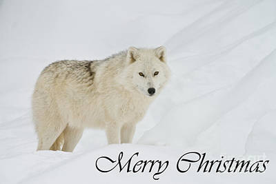 Photograph - Arctic Wolf Christmas Card 1 by Michael Cummings