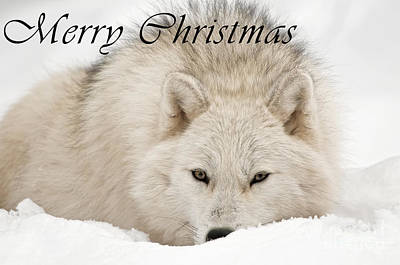 Photograph - Arctic Wolf Christmas Card 11 by Wolves Only