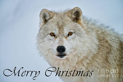 Photograph - Arctic Wolf Christmas Card 15 by Wolves Only