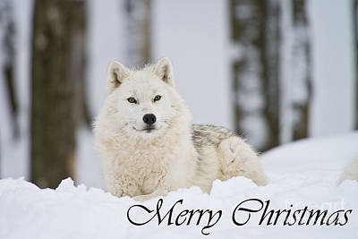 Arctic Wolf Photograph - Arctic Wolf Christmas Card 2 by Michael Cummings