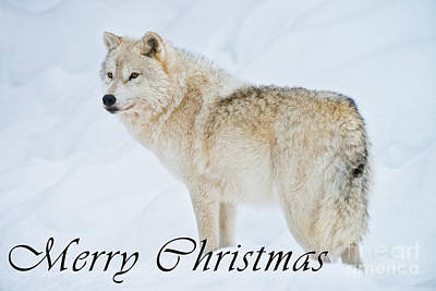 Photograph - Arctic Wolf Christmas Card 9 by Wolves Only