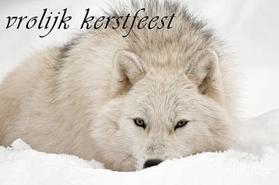Photograph - Arctic Wolf Christmas Card Dutch 11 by Wolves Only
