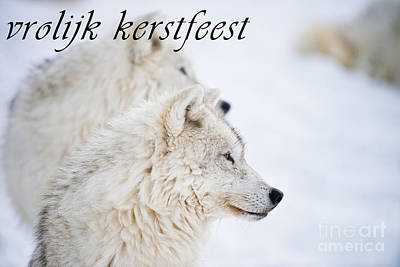 Photograph - Arctic Wolf Christmas Card Dutch 12 by Wolves Only