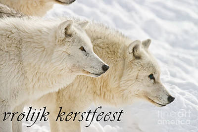 Photograph - Arctic Wolf Christmas Card Dutch 13 by Wolves Only
