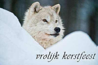 Photograph - Arctic Wolf Christmas Card Dutch 14 by Wolves Only