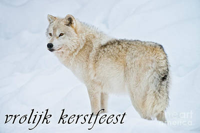 Photograph - Arctic Wolf Christmas Card Dutch 9 by Wolves Only