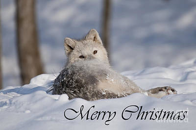 Amy Hamilton Animal Collage Rights Managed Images - Arctic Wolf Christmas Card English 3 Royalty-Free Image by Wolves Only