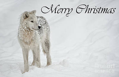 Photograph - Arctic Wolf Christmas Card English 8 by Wolves Only