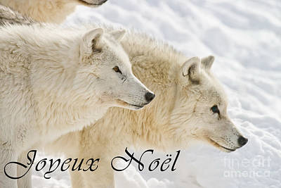 Photograph - Arctic Wolf Christmas Card French 13 by Wolves Only