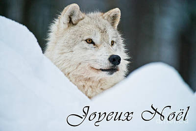 Photograph - Arctic Wolf Christmas Card French 14 by Wolves Only
