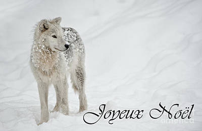 Photograph - Arctic Wolf Christmas Card French 8 by Wolves Only