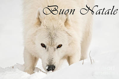 Photograph - Arctic Wolf Christmas Card Italian 10 by Wolves Only